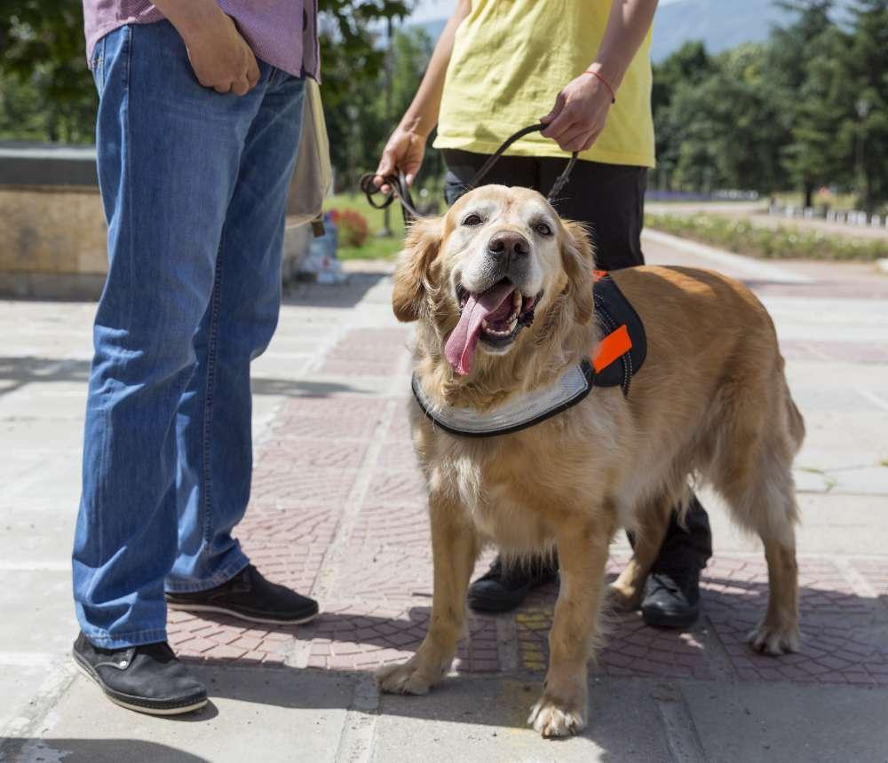 Happy golden retriever guide dog